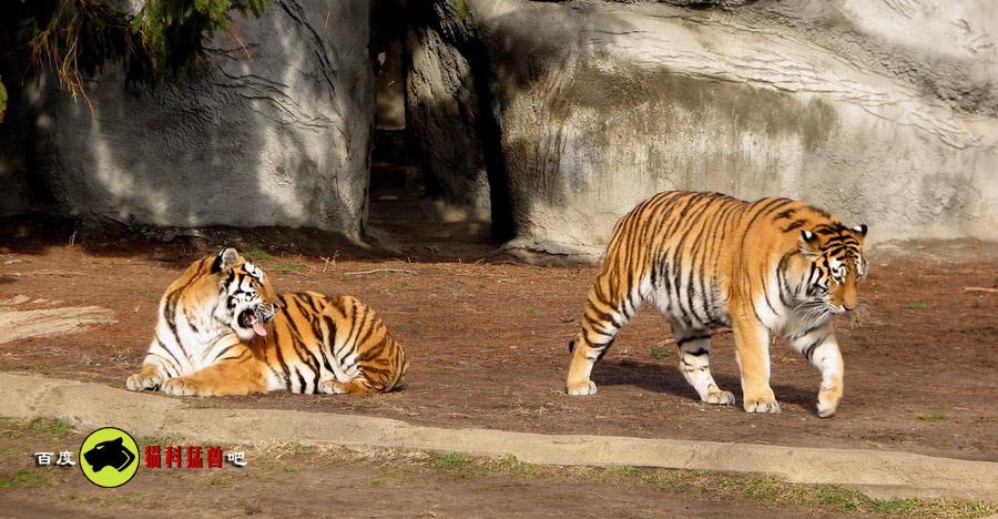[图片]最大猫科动物--东北虎也很可爱的